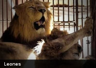 ¿Vivirías en una jaula con leones?... Este hombre sí