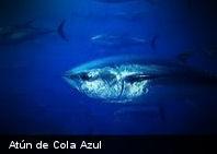 El atún en peligro de extinción