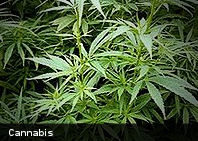 Fumar marihuana de forma ocasional no es dañino para los pulmones