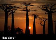 Los árboles más grandes y viejos del mundo se están muriendo