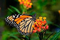 El uso de pesticidas está acabando con las mariposas monarca