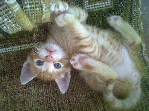 Según estudio: Parásito de las heces de los gatos puede ayudar a combatir el cáncer