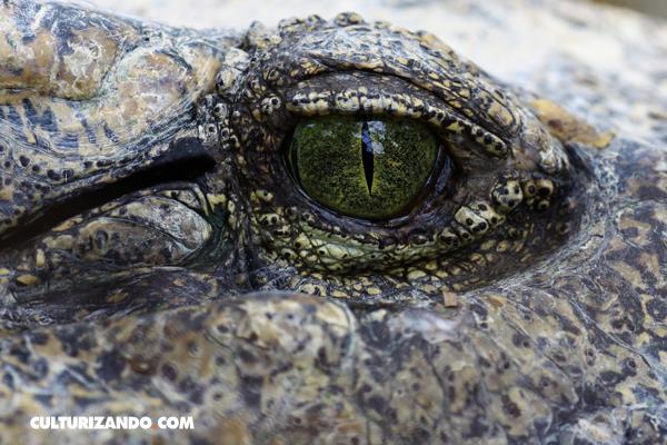 Cocodrilo del Nilo amenaza los Everglades