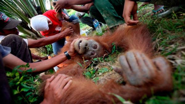 La trágica historia de Pony, una orangután que prostituían en un burdel