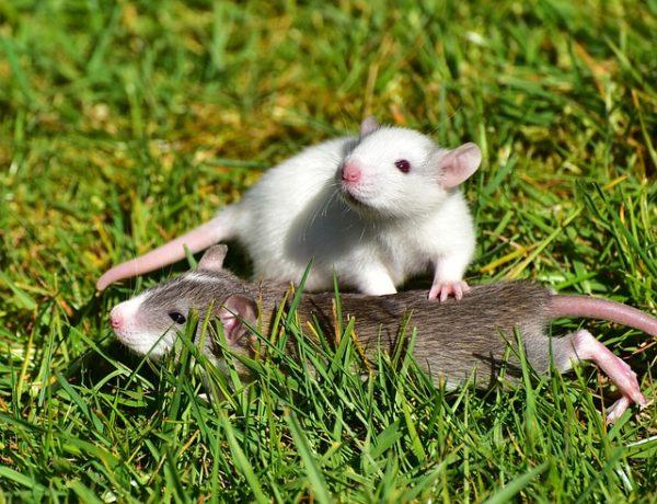 Ante el miedo algunos roedores recurren al sexo