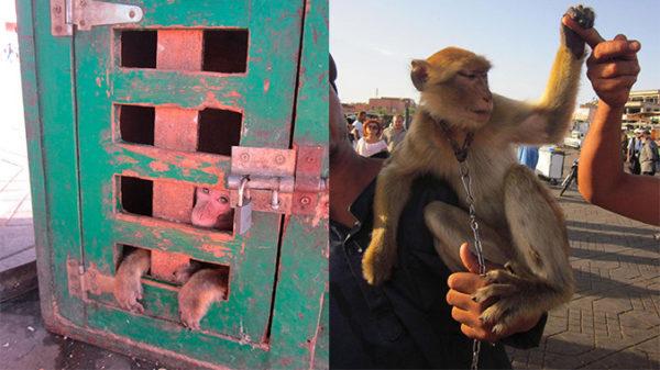 Selfis con macacos, una práctica inaceptable del turismo marroquí
