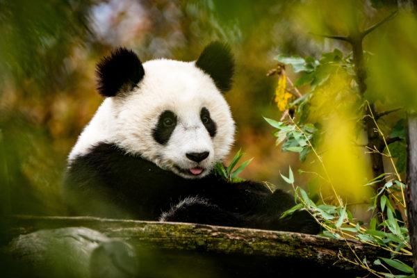 El panda gigante también fue carnívoro