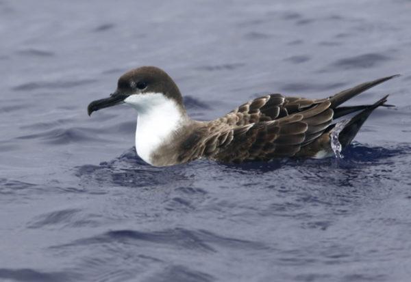 Pardelas y petreles: unas aves marinas tan desconocidas como amenazadas