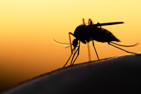Identifican el gen que atrae a los mosquitos al sudor humano