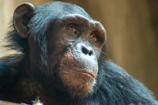 Descubierto un nuevo linaje de chimpancé extinto en el ADN de bonobo
