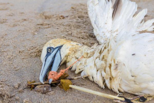 Tener alas no ayuda a las aves a escapar de la amenaza del plástico