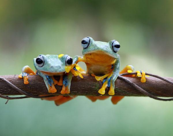 Mil especies más de anfibios podrían estar en peligro de extinción