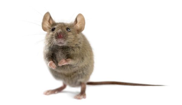 Los ratones tienen 'personalidad'