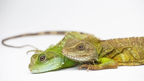 Crías de dragón verde nacen de una madre virgen