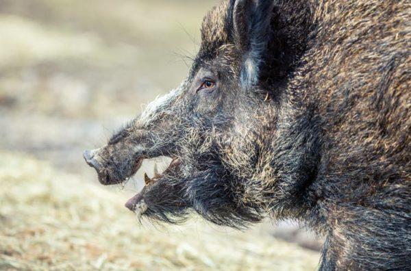 Hay que detener el avance de la peste porcina africana