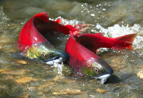 El cambio climático altera el ciclo vital de los salmones rojos del Pacífico