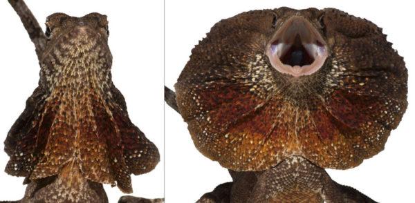 Así se crea el collar desplegable del clamidosaurio