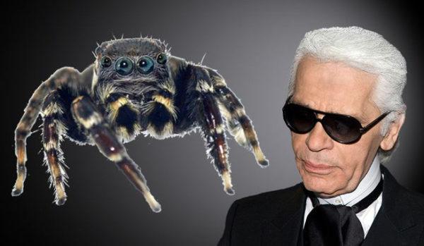 Una nueva araña saltarina nombrada en honor al diseñador Karl Lagerfeld