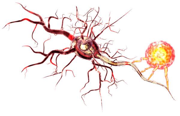 Los astrocitos ayudan a borrar los recuerdos no relevantes y a sustituirlos por nuevos