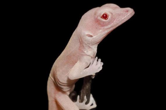 El lagarto albino, primer reptil modificado genéticamente