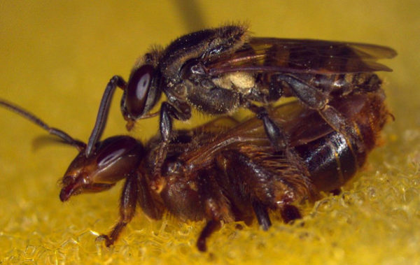 La colonia de abejas asesina a la reina que copula con dos machos