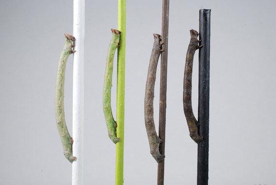 La larva que puede 'ver' los colores a través de la piel