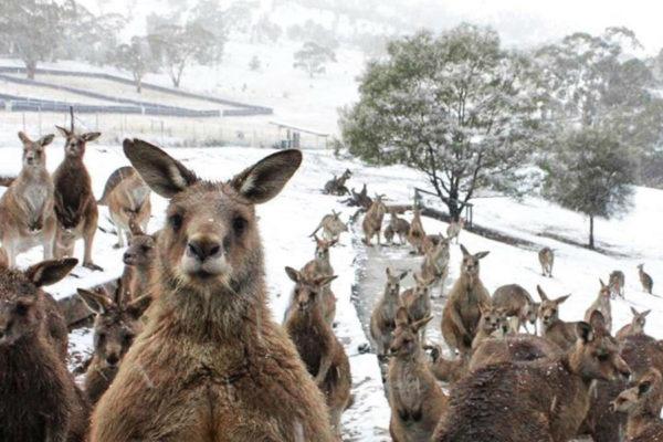 Manada de canguros saltan sobre la nieve tras un sorpresivo e inusual ciclón en el sureste de Australia + videos