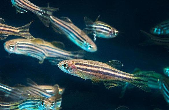 El corazón del pez cebra se regenera gracias a unas células especiales