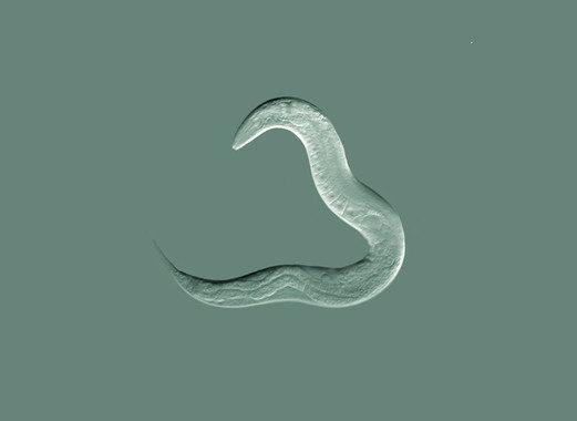 Un gusano 'humanizado' con CRISPR revela puntos débiles del cáncer