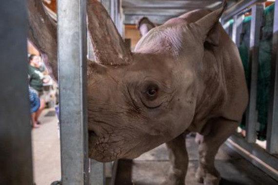 Una rinoceronte negra queda embarazada en un zoo de Michigan