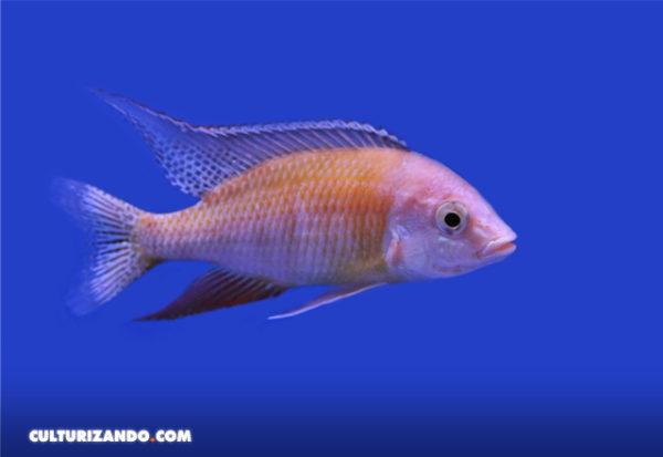 Las hembras de estos peces generan nuevas especies al confundirse de pareja