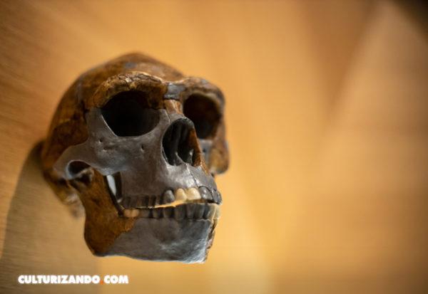 Así era la espalda del 'Homo antecessor'