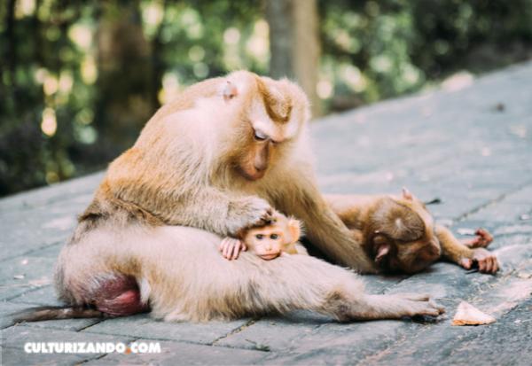 Una vacuna experimental contra el zika protege a los fetos de macaco