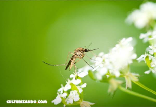 A los mosquitos les gustan las flores tanto como los humanos