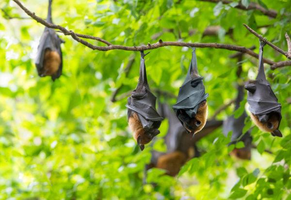 Hallan nuevo coronavirus hospedado en un murciélago tailandés