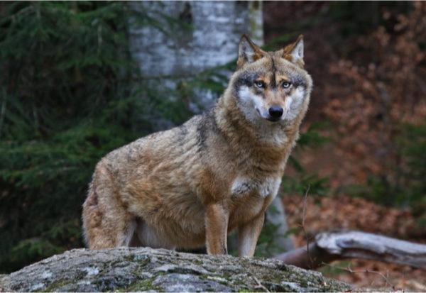 Mediar entre humanos para conservar a los lobos