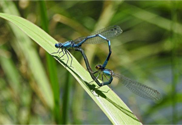 Del baile de la libélula al lenguaje de los humanos: el comportamiento de las especies marca su evolución