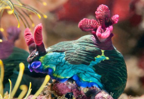 Conoce esta increíble especie de babosa marina que puede decapitarse y regenerar su cuerpo