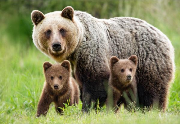 ¿De qué mueren los osos pardos de la cordillera Cantábrica?