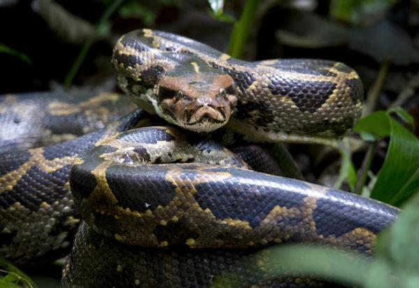 Conoce la serpiente que porta la sustancia que ayudará a combatir el COVID-19