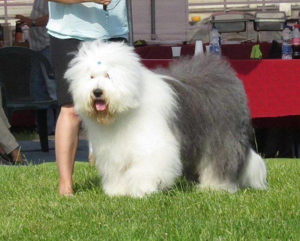 Perro pastor inglés en peligro de extinción