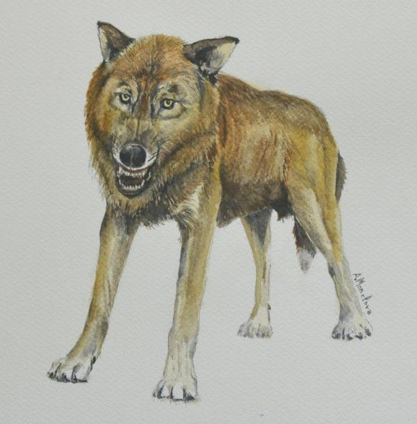Descubren una nueva especie extinta de pequeño lobo en Orce